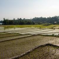 Reisanbau auf Samosir
