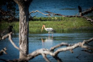 Buntstorch im Yala Nationalpark