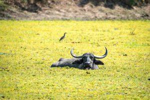 Entspannter Wasserbüffel im Algentümpel