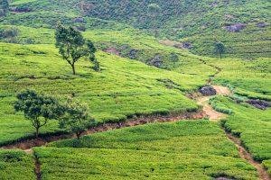Teeplantagen von Labookelle