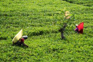 Tee Pflückerinnen